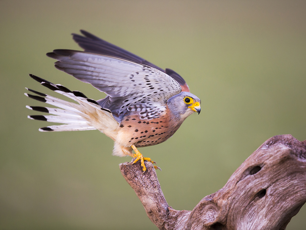 aves01r